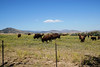 Where the buffalo roam (within a fence) (Let Ideas Compete) Tags: farm farming livestock buffalo animals farmanimal farmanimals wherethebuffaloroam fence herd herdofbuffalo barbwirefence barbedwirefence