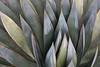 Agave (Edmonton Ken) Tags: green blue cyan orange brown spine leaves succulent arizona desert arid beautiful colorful painterly agave