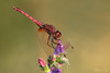 Violet Dropwing / Violetter Sonnenzeiger (Trithemis annulata) (Chris Kex) Tags: anisoptera odonata libellulidae trithemis annulata violet dropwing violetter sonnenzeiger libellulid segellibelle segellibellen groslibelle groslibellen dragonfly odonate libelle libellen ausgefärbt bereift gewässer habitat insect insekt imago france frankreich animal tier makrofotografie macro männchen male makro nature naturfotografie natur perch pond see fluss river lake teich water wasser wildlife waters