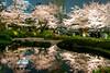 Sakura Reflection (Ballet Lausanne) Tags: tokyo roppongi night d800 roppongihills 六本木ヒルズ