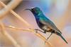 Jerichonektarvogel (Palestine sunbird) (tzim76) Tags: jerichonektarvogel cinnyris osea palestine sunbird israel birding wildlife nature outdoor sun blue