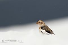 Snow Bunting (cjdolfin) Tags: cairngorms highland scotland scottish avian bird cjdolfin cold hill mountain nature snow snowbunting white wild wildlife winter