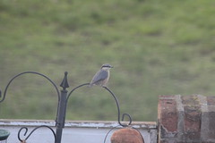 Nuthatch (Mrs Bs Photos) Tags: croydon uk bird nuthatch