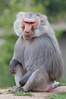 Hamadryas Baboon. (LisaDiazPhotos) Tags: hamadryas baboon africa rocks lisadiazphotos sandiegozoo sandiegozooglobal san sandiegozoosafaripark sandiegosafaripark sdzsafaripark sdzoo sdzsp