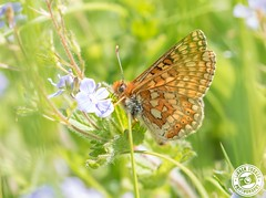 Marsh Fritillary - Euphydryas aurinia (Lauren Tucker Photography) Tags: butterfly closeup macro marshfritillary nature wildlife uk south west england colour summer spring 2018 may close up landscape view wild canon 7d slr camera photography photographer photograph photo image pic flower plant naturereserve copyright laurentuckerphotography allrightsreserved wiltshire battlesbury hill