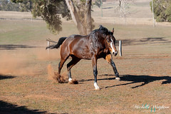 Thoroughbred Horse (Michelle Wrighton Photography) Tags: australia horse thoroughbred galloping running equine canon 5div 5d4 70200mm 28l