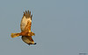 Falco di palude (fausto.deseri) Tags: marshharrier circusaeruginosus falcodipalude tivolimanzolino wildlife birds nature wildanimals sitodimanzolino nikond7100 nikkor300mmf28afsii nikontc20eii faustodeseri