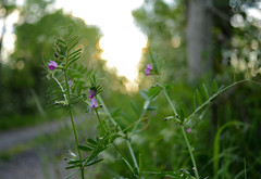 Another legume of the meadow and wayside - Common vetch 'Vicia sativa'. (croslandadam) Tags: wildflower plant nature nikon d7000
