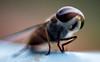 FLY- Macro (hotshot_rz) Tags: macro fly test small miniature canon 50mm reverse photographybyraz