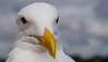 5801a  Waiting for lunch !! (foxxyg2) Tags: bird gull white california santacruz