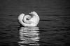 Peek-a-boo (bp-122) Tags: shy peek boo peekaboo hide seek swan bird watermeade lake aylesbury nikon monochrome artistic cute adorable playing