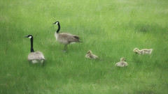 In The Green (David DeCamp) Tags: birds grass geese young green citypark topazimpression2
