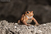 Common Toad (Bufo bufo) (RedHotChiliEntzi) Tags: bufo common toad amphibian herping herp herpetofauna herpetology anura frog red dirt soil cute canon canon7dmark2 canon7d canon7dmarkii rhodope thrace greece