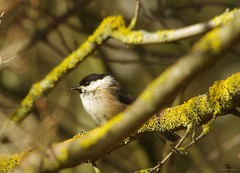 willow tit (3) (Simon Dell Photography) Tags: rare willow tit bird shirebrook valley sheffield nature wildlife birds animals spring views sights reserve s12 simon dell photography photos