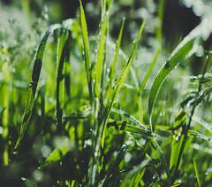 Waking up from the dream (mripp) Tags: art abstract micro macro green dream grass trainmen traumatic traum traumananlyse sony rx1rii poster wallpaper desktop living room bokeh wiese kunst