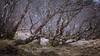 Resting Birch (gerainte1) Tags: birch trees woodland woods colour torridon scotland