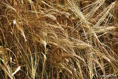 Пшениця, жито, овес InterNetri  Ukraine 029