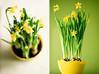 Narcisos (Boris & Co) Tags: jonquille daffodil narcisse narciso flores bloemen narcis printemps lente primavera spring easter pâques pascuas pasen