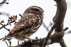 LittleOwl-0001.jpg (vorneo) Tags: wildbird kingdomanimalia birdofprey owl binomialnameathenenoctua littleowl bird speciesanoctua phylumchordata familystrigidae orderstrigiformes classaves genusathene
