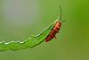 nel verde (luporosso) Tags: natura nature naturaleza naturalmente nikon nikonitalia nikond500 nikonclubit insect insetto bugs buz bug verde green rosso red macro closeup