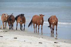 Beach Parade (meg21210) Tags: wild horses wildhorses corolla obx outerbanks northcarolina beach mustangs spanish water ocean sea seaside parade