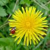 Der Frühling ist da (egni49) Tags: löwenzahn frühling marienkäfer käfer