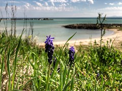 Beach view of Aheloy, Bulgaria (nenos_79) Tags: bloomingflowers blooming macro iphonephotography bulgaria aheloy seeside seaview blacksea landscape nature flora flowers flower plant