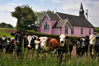 A pink church and a congregation of cows