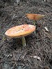 Mushrooms (ambodavenz) Tags: mushroom toadstool fungi timaru southcanterbury newzealand