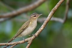 Red-eyed Vireo (Greg Lavaty Photography) Tags: redeyedvireo vireoolivaceus texas brazosbend statepark ftbendcounty birdphotography outdoors bird nature wildlife may