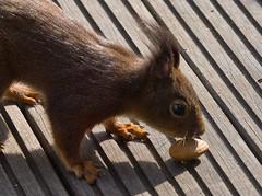 Eichhörnchen / Squirrel (schreibtnix on 'n off) Tags: deutschland germany bergischgladbach tiere animals eichhörnchen squirrel sciurusvulgaris nahaufnahme closeup olympuse5 schreibtnix