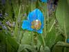 The Garden House (krieger_horst) Tags: blau tropfen england gardenhouse blumen
