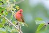 But Well Behaved (gseloff) Tags: summertanager bird feeding migration nature wildlife animal mulberry fruit laffitescove galvestonisland texas gseloff