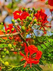 The beautiful grounds surrounding the Inya Lake Hotel in Yangon, Myanmar. (KyotoDreamTrips) Tags: burma delonixregia inyalakehotel myanmar sundaybrunch yangon dining flametree sunset yangonregion myanmarburma mm