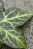 IVY LEAF (rossmack05) Tags: leaf abstract