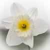White daff (Jez22) Tags: white yellow daffodil flower floral flora pretty spring springtime bloom petals stamen copyright jeremysage