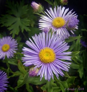 Azure Fairy Fleabane Daisy (Erigeron speciosus)