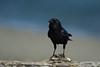 American Crow Portrait (westcoastcaptures) Tags: bird crow americancrow corvusbrachyrhynchos portrait beach sand bokeh sonya99ii minoltaaf300mmf28apoghs minoltaapoii14xteleconverter driftwood log wood perch