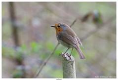 Robin (Erithacus rubecula) (jhureley1977) Tags: birds birding birdsofbritain britishbirds ashjhureley avibase naturesvoice bbcspringwatch rspbbirders stockerslake rickmansworth ashutoshjhureley rspb