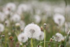 2018-05-21 15.20.48 One dandelion of thousands (HAKANU) Tags: sweden småland kronoberg ör field white seeds dandelion flowers flower