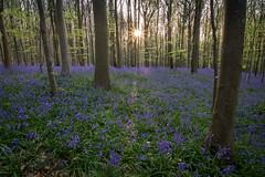sunrise amongst the bluebells (Emma Varley) Tags: bluebell woods bluebells wildflower westsussex uk april forest carpet blue sunrise