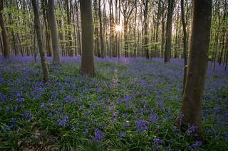 sunrise amongst the bluebells