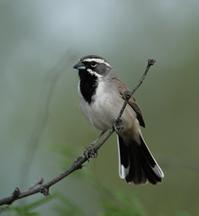 Black-throated Sparrow (Digital Plume Hunter) Tags: