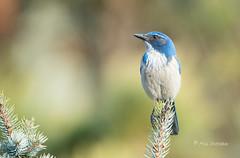 Top of the Spruce (Rick Derevan) Tags: atascadero california aphelocomacalifornica californiascrubjay scrubjay bird bokeh