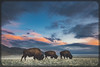 Bison Sunset (Jami Bollschweiler Photography) Tags: bison buffalo sunset utah wildlife photography