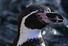 Pinguinporträt (Rolf Piepenbring) Tags: penguin pinguin porträt portrait zookrefeld