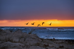 Dawn Flight (scottprice16) Tags: england northumbria northumberland alnmouth northsea beach morning march 2018 spring dunes sunrise colour blue orange geese birds migratory brentgeese fuji fujixt1 18135mm