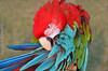 Parrot 金剛鸚鵡 (szintzhen) Tags: 鸚鵡 鳥 散景 北投 台北市 台灣 parrot bird bokeh taipeicity taiwan