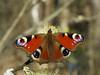 Aglais io - European peacock - Павлиний глаз дневной (Cossus) Tags: 2017 aglais inachis nymphalidae nymphalinae vanessa пестово