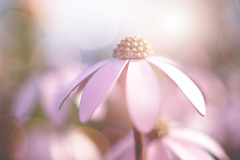 The Iron Flower... #7DWF #Flora (KissThePixel) Tags: echinacea flower metal steel upcycle pink beauty simplebeauty simplicity beautiful march spring nikon 50mm bokeh stilllife stilllifephotography light recycle macro nikond750 f14 7dwf flora friday